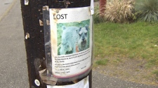 Authorities have commissioned a local veterinarian and a trapper to locate a wolf-dog that has roamed Bowen Island for months. (CTV)