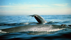 In this undated photo provided by the National Oceanic and Atmospheric Administration blue whales are seen in the Gulf of the Farallones National Marine Sanctuary in California. (AP / National Oceanic and Atmospheric Administration)