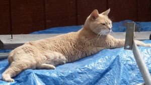 In this photo provided by Sandy Bubar, Stubbs lies on a tarp in an alley in Talkeetna, Alaska, Wednesday, July 11, 2012.