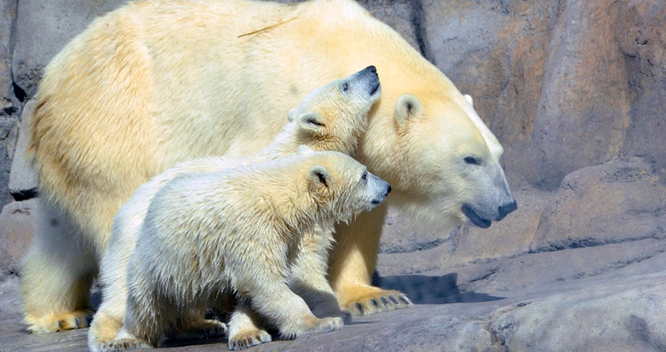 In this undated photo provided by The Toledo Zoo, baby polar bears Suka and Sakari are seen at The Toledo Zoo in Toledo, Ohio. (AP / The Toledo Zoo)