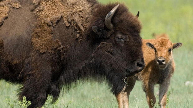 Parks Canada is looking for the public's input on the reintroduction of wild plains bison into Banff National Park.