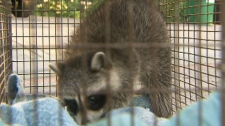 An injured raccoon in transported by Toronto Animal Services after it was allegedly beaten by a man in Bloor Street West and Lansdowne Avenue area on Wednesday, June 1, 2011.