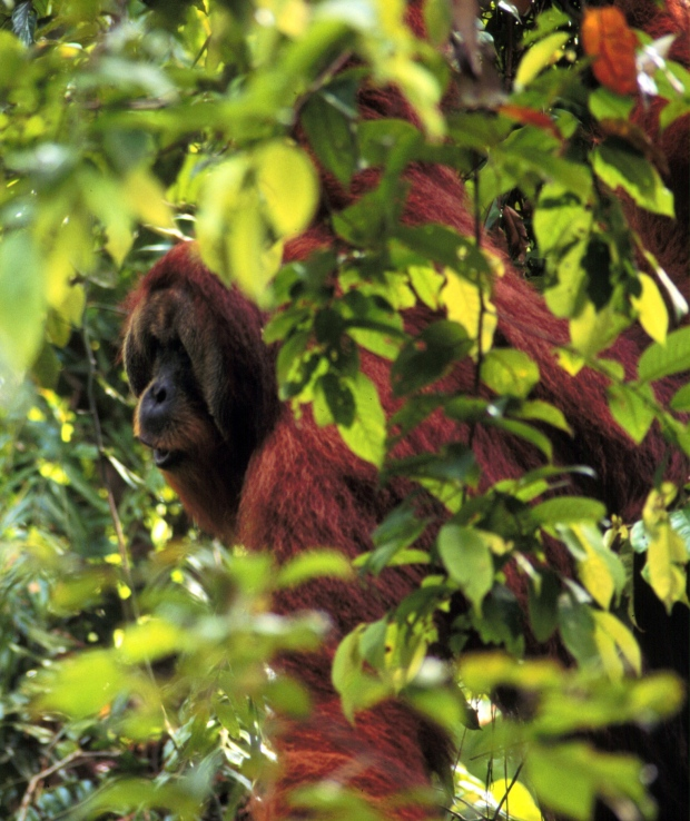 Orangutans plot travel plans a day in advance