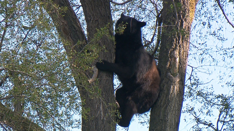 The Timmins Police Service has seen a marked increase in bear calls in recent days, counting 39 so far in May, compared to just two in May 2018 and eight in May 2019. (File)