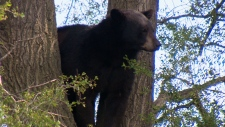 Bear sightings has increased across the GTA
