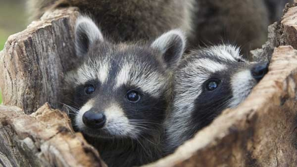 Young raccoons in hollow tree are shown at the Sandy Pines Wildlife Centre in Napanee, Ont. in this handout photo. (Janet Foster / THE CANADIAN PRESS)