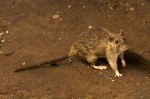 A rat wanders the subway tracks at Union Square in New York in this June 15, 2010 file photo. (AP / Frank Franklin II)