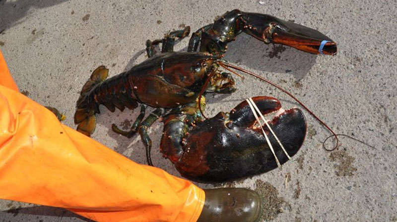 MyNews contributor Kerri Hatt shares this photo of a massive 22.3 lb lobster her dad and brother caught while fishing on the Bay of Fundy in N.B. on Tuesday, June 7, 2011.