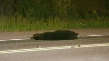 The body of a black bear lays on the highway after it was involved in a fatal crash that killed two people near Luskville, Que., Monday, June 6, 2011. Courtesy: TVA
