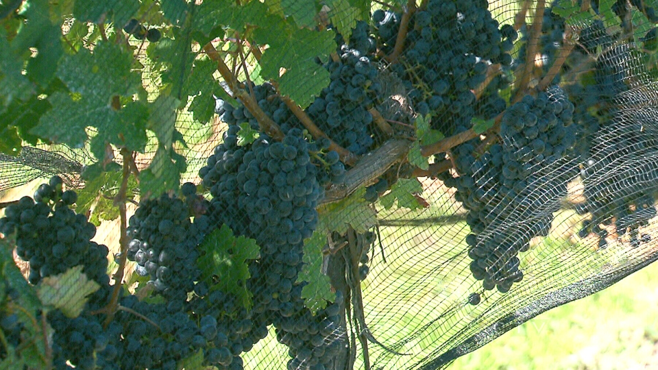 Grapes hang from a vine at Coyote's Run Estate Winery in Niagara-on-the-Lake, Ont., Tuesday, Sept. 24, 2013.