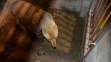 First wild polar bear for conservation centre