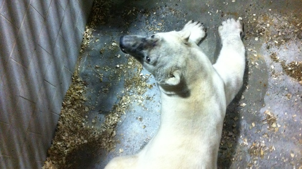 A wild polar bear that attacked a man in Churchill will get a new lease on life in the zoo's new polar bear conservation centre. (Courtesy of Province of Manitoba)
