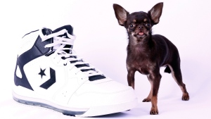 Miracle Milly, a brown female Chihuahua, is the smallest dog living, in terms of height, measuring 9.65 centimeters tall when measured from backbone to paw, on Feb. 21, 2013. (Guinness World Records 2014 Edition)