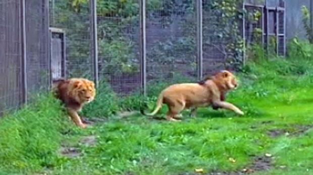 Lions, Calgary Zoo, Calgary Floods 2013