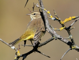 A pretty Palm Warbler on the Cross-Loop Road up near Wakefield, Quebec. (Judith Gustafsson/CTV Viewer)