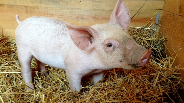 Yoda, the Pig Who Lived, found a new home at the Wishing Well Sanctuary in Bradford West Gwillimbury. (Katherine Ward / CTV Barrie)