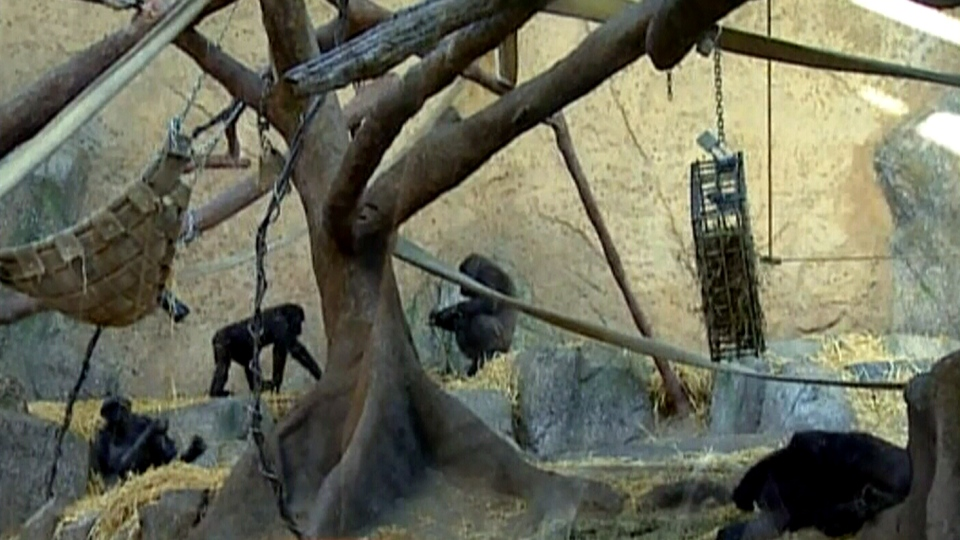 Gorillas are seen at the Calgary Zoo, where for the second time in less than a year, some of the gorillas managed to escape and get into the kitchen attached to their enclosure.