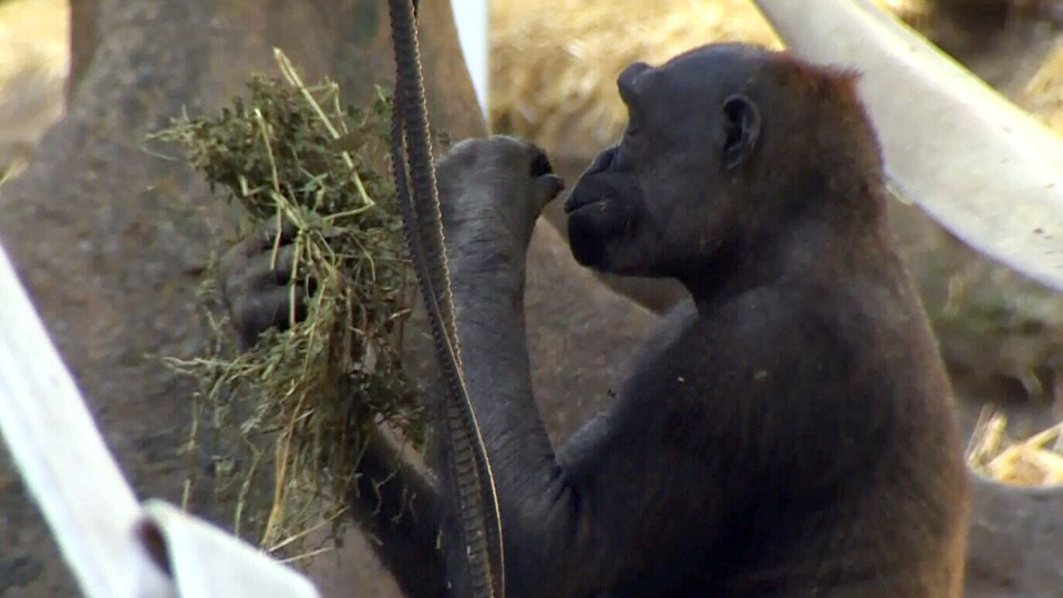 A gorilla is seen at the Calgary Zoo, where for the second time in less than a year, some of the gorillas managed to escape and get into the kitchen attached to their enclosure.
