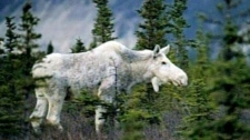 Shooting of white moose angers Aboriginal group