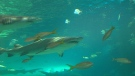 CTV Toronto: Inside the Ripley's shark tank