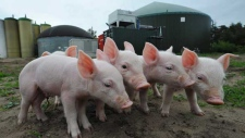 In this photo taken on Monday, May 11, 2009, pigs are seen in front of a biogas plant in Sterksel, south Netherlands. The plant is similar to one the Toronto Zoo will to build to decrease its carbon footprint. (THE ASSOCIATED PRESS /Ermindo Armino)