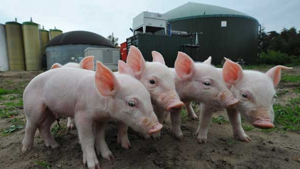 Pigs are seen in front of a biogas plant in Sterksel, south Netherlands,  Monday, May 11, 2009.  (AP Photot /Ermindo Armino)