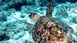 A hawksbill sea turtle cruises over a reef just off the shore of Curacao, Wednesday, April 21, 2010. (AP / Brian Witte)