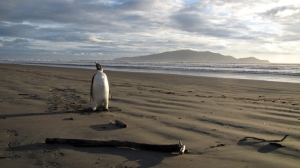 An Emperor penguin walks along Peka Peka Beach in New Zealand after it got lost while hunting for food. The young Antarctic Emperor penguin has taken a rare wrong turn and ended up stranded on a New Zealand beach. (Richard Gill /  New Zealand's Department of Conservation)