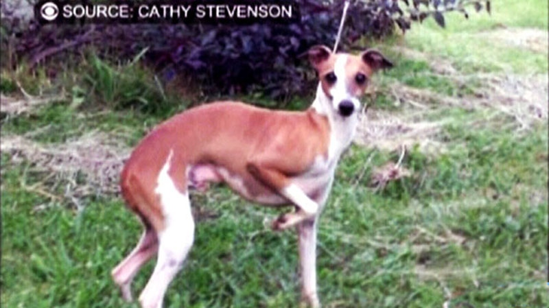 In this undated photo, Larry, a greyhound dog, is pictured. Larry went missing at the San Francisco Airport this week after Air Canada employees took him out of his crate for a walk. (Cathy Stevenson / CBS)