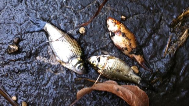Fish in Millennium Library pond