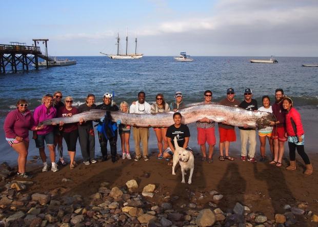 Giant sea serpent oarfish