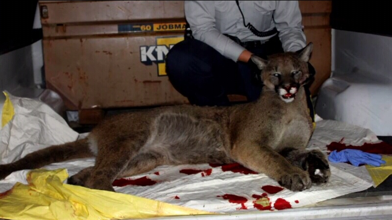 Conservation officers on Vancouver Island destroyed a cougar Tuesday evening, but have not confirmed if it was the same cat that persistently stalked an off-duty Mountie, his wife, and their dogs Monday. Oct. 16, 2013. (Handout)