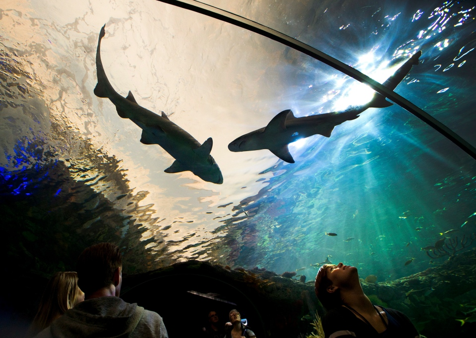 People watch sharks swim above during the grand opening of the Ripley's Aquarium of Canada in Toronto on Wednesday, Oct. 16, 2013. (Nathan Denette / THE CANADIAN PRESS)