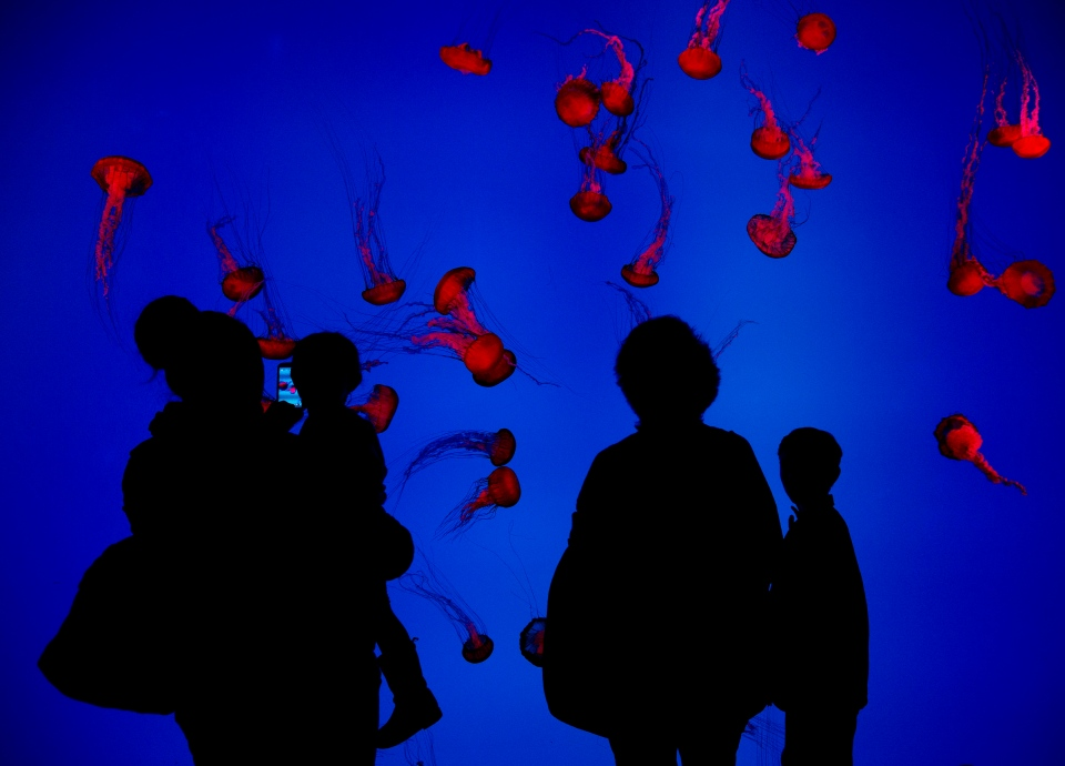 People watch jellyfish swim during the grand opening of the Ripley's Aquarium of Canada in Toronto on Wednesday, Oct. 16, 2013. (Nathan Denette / THE CANADIAN PRESS)