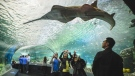 Visitors get up close to sharks, sawfish, sea turtles and more in the 97-metre-long underwater viewing tunnel at Ripley's Aquarium of Canada in Toronto, Wednesday, Oct. 16, 2013. (Ripley's Aquarium of Canada)