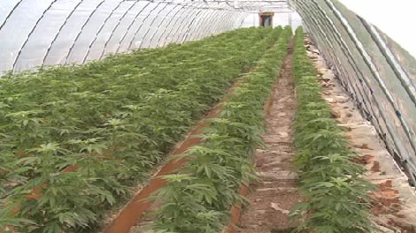 Mounties have busted a massive marijuana grow-op in Hope, B.C., seizing nearly 6,500 hundred plants. (RCMP)