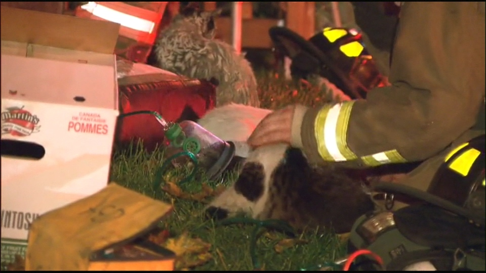 Firefighters administer oxygen to an animal that was rescued from a house fire early Thursday, Oct. 17, 2013.