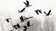 A flock of Canada geese fly over a pond during the mild spring weather in Newstead, N.Y., Monday, March 21, 2011. (AP / David Duprey)