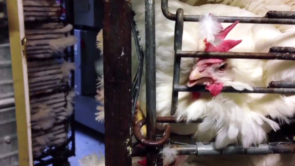 W5 obtained secretly recorded video from the animal rights group, Mercy for Animals Canada (MFAC) that gives a glimpse into the lives of hens whose lives are dedicated to the production of eggs at Kuku farms in Alberta.