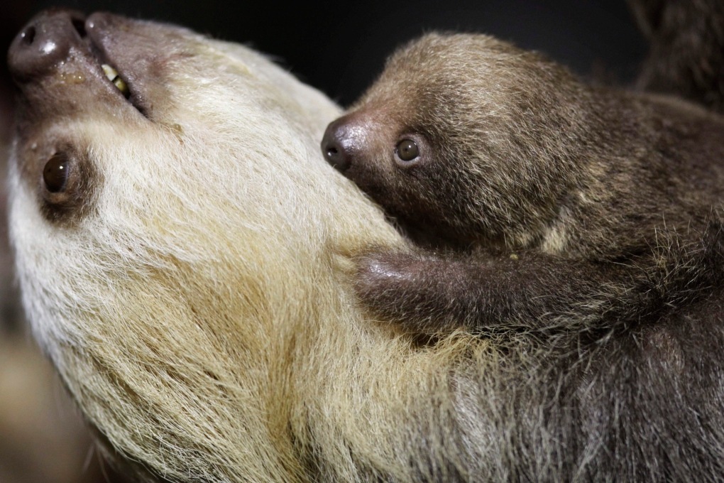 Enter The Weird World Of Sloths On International Sloth Day