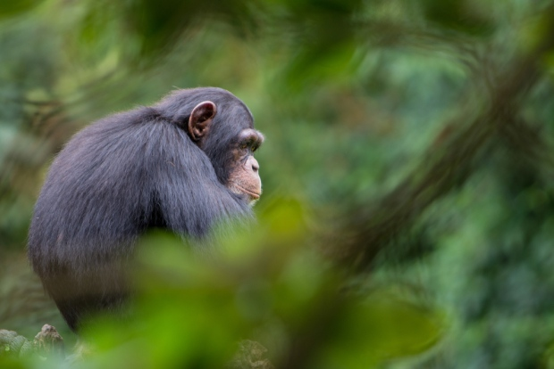 Chimpanzee in Sierra Leone