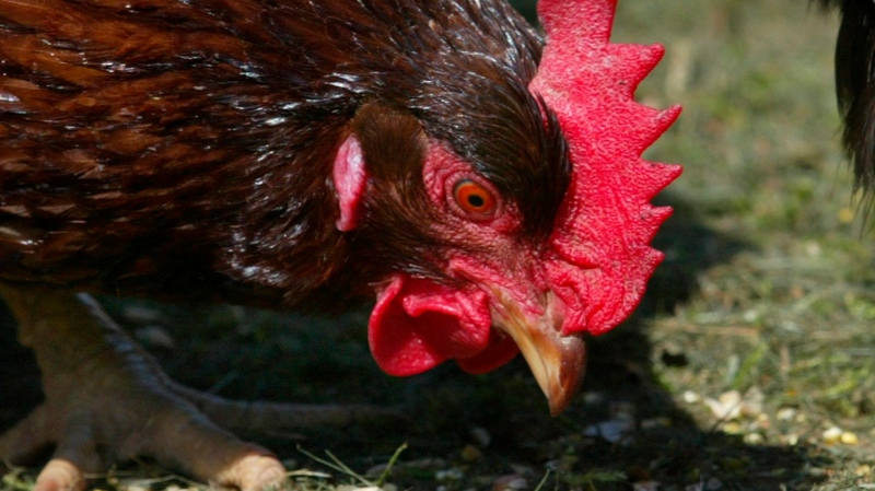 A chicken is shown feeding in this 2004 file photo. (Richard Lam / THE CANADIAN PRESS)