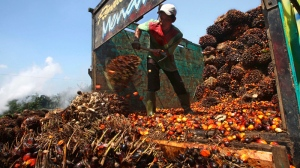 A worker unloads palm fruits at a palm oil processing plant in Lebak, Indonesia, Tuesday, June 19, 2012. (AP / Tatan Syuflana)