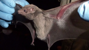 A bat can be seen in this undated photo.