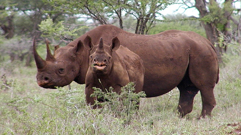 A black rhino male and calf in Mkuze are seen in South Africa on Jan. 5, 2003. (U.S. Fish and Wildlife Service / Karl Stromayer)