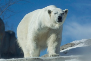 A polar bear is pictured in this at the Toronto Zoo is in this file photo from Thursday February 21, 2013. (Chris Young/The Canadian Press)