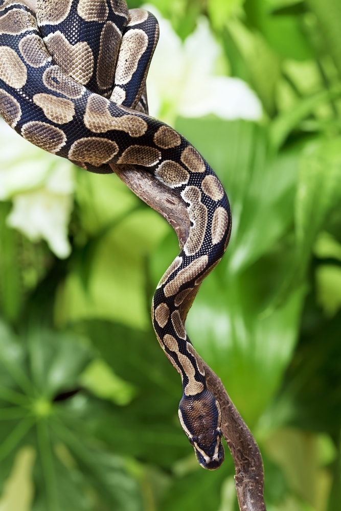 "Researchers have found that certain neurons respond ""selectively"" to images of snakes, and they outpace comparable neurons that react to visuals of faces, hands or geometric shapes. (Kuznetsov Alexey/shutterstock.com)"