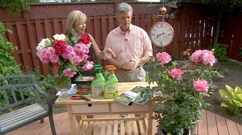 Mark Cullen shares his tips on growing great roses in a Canadian garden.