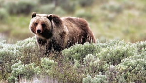 A grizzly bear roams near Beaver Lake in Yellowstone National Park, Wyoming, Wednesday July 6, 2011. (AP / Jim Urquhart)