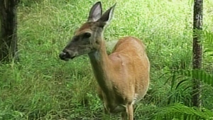 CTV Windsor: November tops for deer crashes